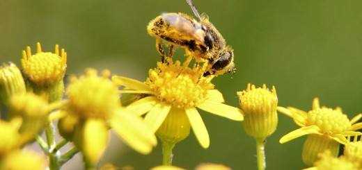 Bee-pollen-macro_-_Virginia_-_ForestWander