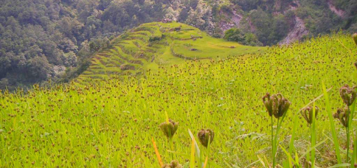 Millet_fields_in_Annapurna